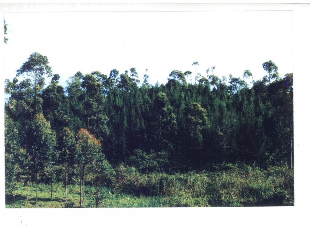 Die Bäume sind wenige Jahre später groß - nun ist das zuvor abgeholzte Hügelstück wieder bewaldet.